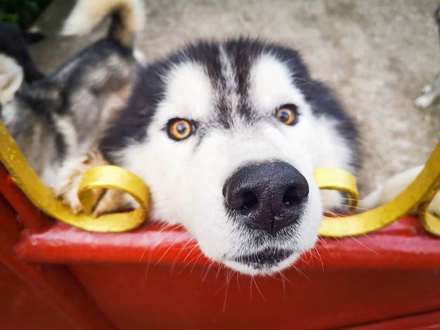 Perro husky siberiano en valla / perro triste animal mascota Foto Premium