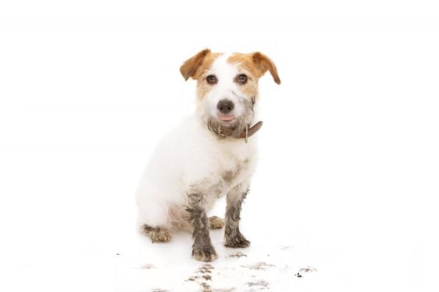 Perro jack russell sucio aislado después de jugar en un charco de barro sentado Foto Premium