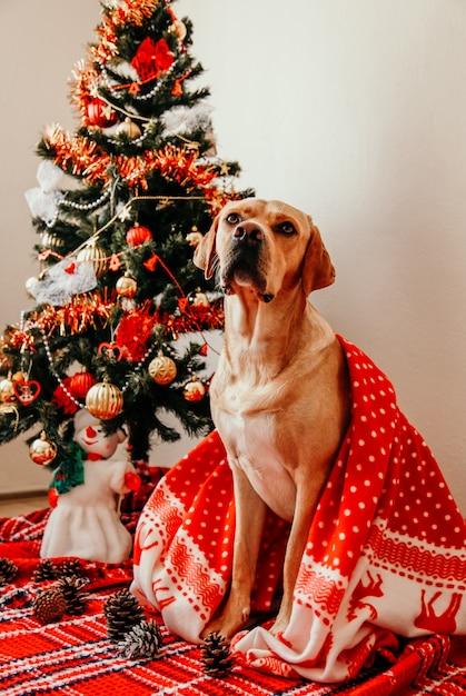 Perro labrador cubierto con una manta roja sentado con decoraciones en casa Foto Premium