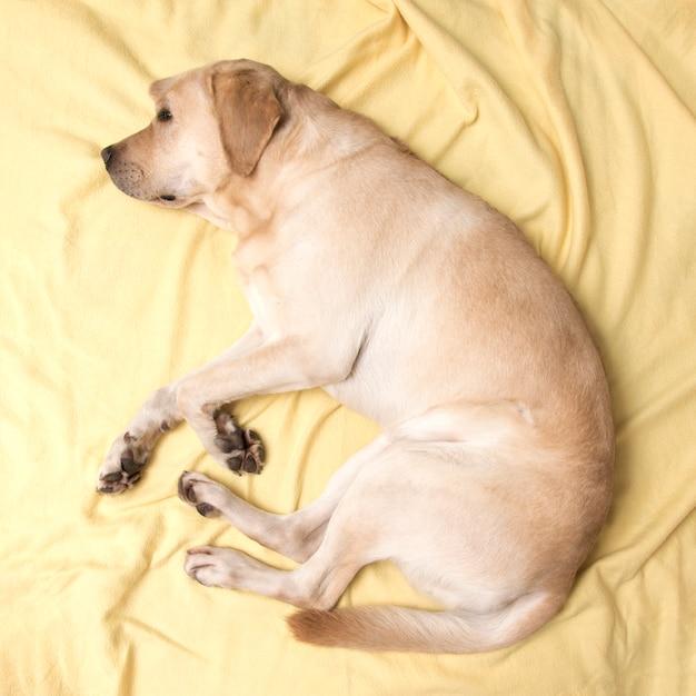 Perro labrador durmiendo en una tela escocesa amarilla, vista desde arriba. Foto Premium