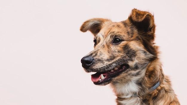 Perro con lengua fuera copia espacio mirando a otro lado Foto gratis
