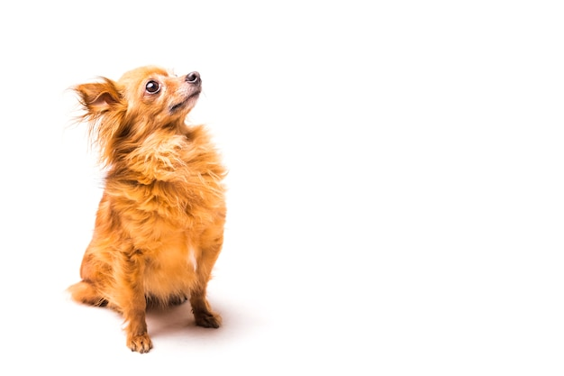 Perro lindo marrón sentado sobre fondo blanco Foto gratis