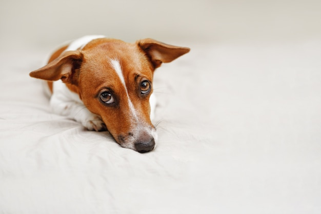 Perro lindo de russell del enchufe que miente en cama. Foto Premium
