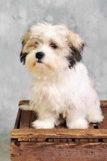 perro maltés que se sienta en caja de madera | Descargar Fotos gratis