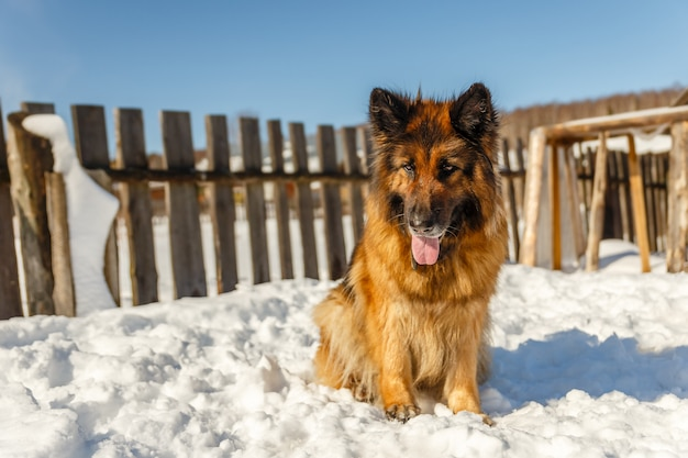 Perro pastor alemán Foto Premium