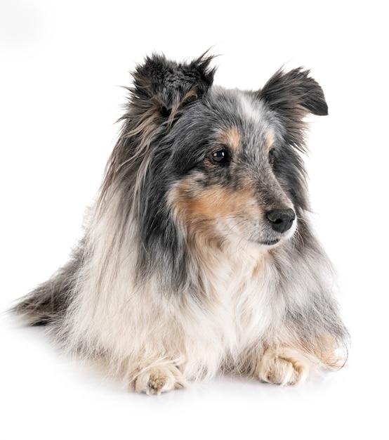 Perro pastor de shetland en estudio Foto Premium