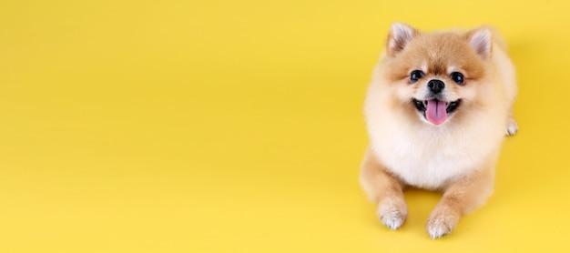 Perro pomerania con fondo amarillo. Foto Premium
