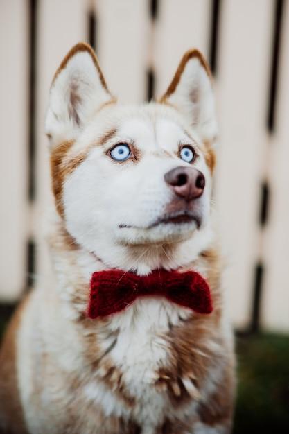 Un perro de pura raza husky siberiano sin correa al aire libre en la ...