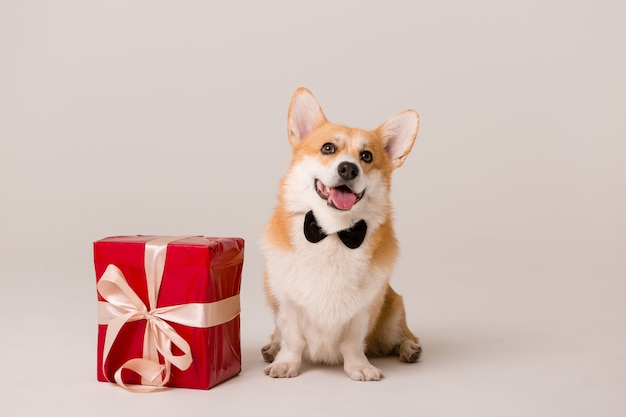 Perro raza corgi en corbata con caja de regalo roja sobre blanco Foto Premium