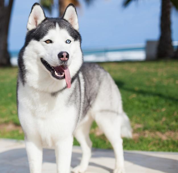 Perro de la raza husky con la lengua fuera Foto gratis