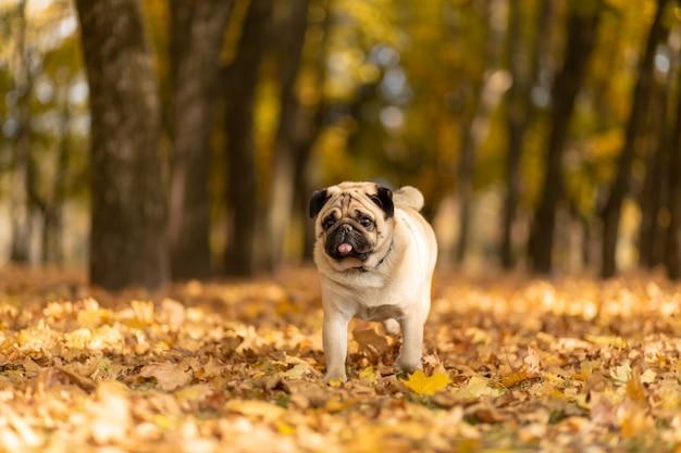 Un perro de la raza pug camina en el parque de otoño a lo largo de las hojas amarillas contra los árboles y el bosque de otoño. Foto Premium