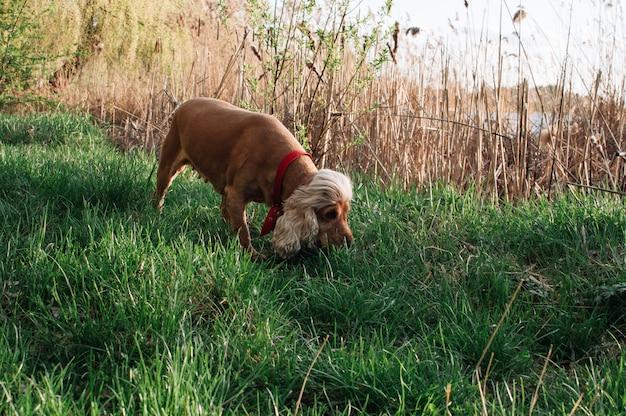 Perro rojo olfateando pasto Foto Premium