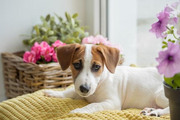 El perro triste está acostado en la ventana y está esperando al dueño. Foto Premium