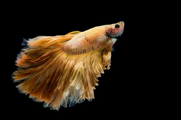 Pez betta de oro amarillo, pez luchador siamés sobre fondo negro Foto Premium