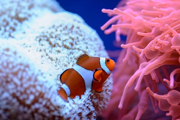 El pez payaso anaranjado (amphiprion percula), nada entre los corales en un acuario marino. Foto Premium
