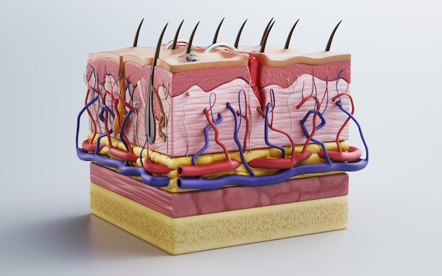 Piel humana, estructura de la piel, grasa corporal. representación 3d Foto Premium