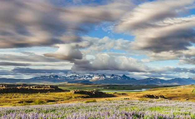 Los pintorescos paisajes de bosques y montañas de islandia. floración de lupino azul salvaje Foto Premium