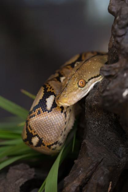 Pitón reticulado, boa constrictor serpiente en la rama de un árbol ...