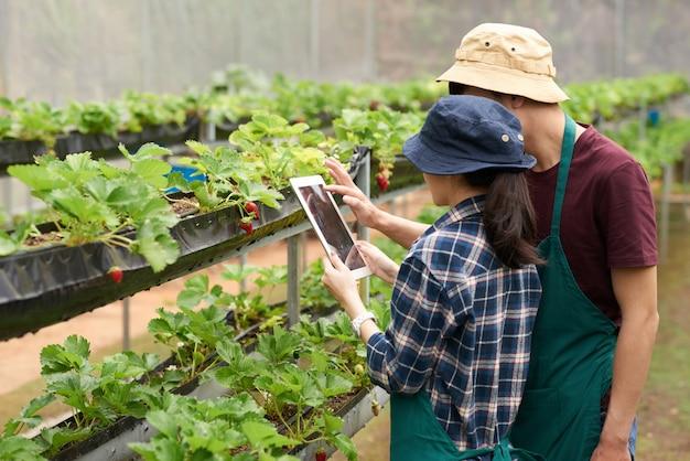 Plano medio de agrónomos tomando una foto de fresa con tableta digital Foto gratis