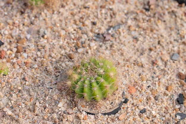 Planta de cactus en la arena. Foto Premium