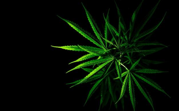 Planta de cannabis. el cannabis sativa (cáñamo) tiene cbd. hojas verdes de marihuana (hierba) Foto Premium