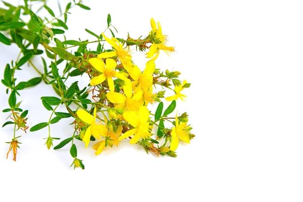 Planta con flores hierba de san juan (hypericum perforatum) hierba curativa aislada en blanco Foto Premium