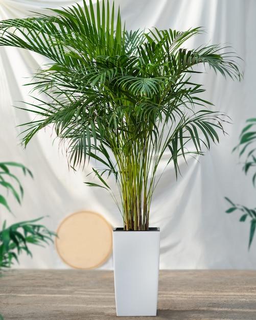 Planta de palma de caña de areca en maceta blanca | Foto Premium