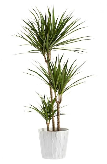 Planta de yuca en maceta en un recipiente Foto Premium