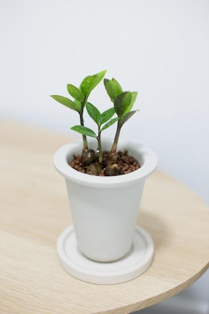 Planta zz en maceta de cerámica blanca sobre mesa de madera Foto Premium