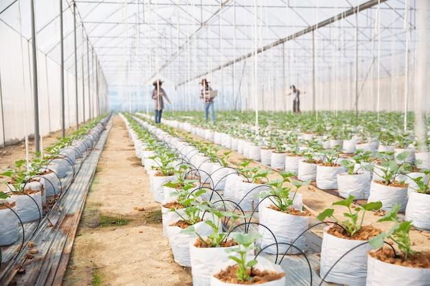 Plantación de melones con trabajadores. Foto gratis