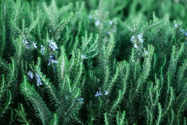 Plantas florecientes del romero con las flores en fondo verde de la hierba del bokeh. rosmarinus officinalis angustissimus benenden campo azul. Foto Premium