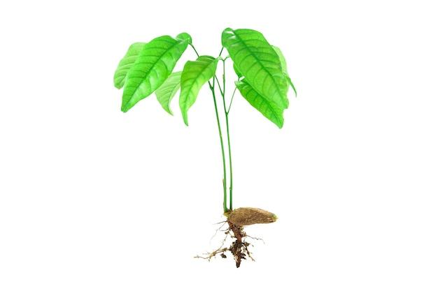 Plantones y semillas aisladas sobre fondo blanco. Foto Premium