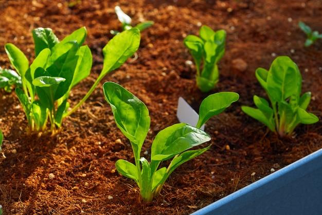 Plántulas de espinacas y acelgas en un huerto Foto Premium