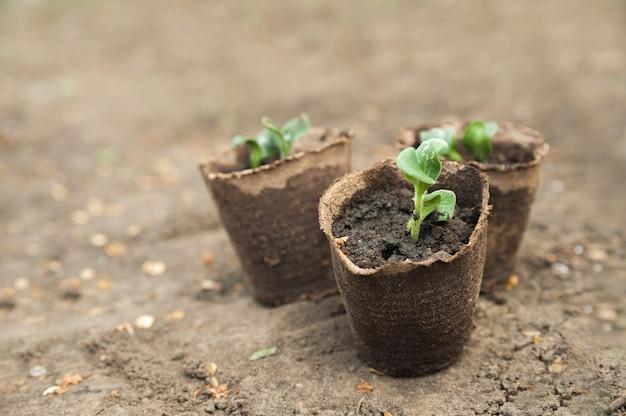 Plántulas en macetas de turba. los procesos de las plantas jóvenes en el fondo del primer plano de la tierra y el espacio de la copia. Foto Premium
