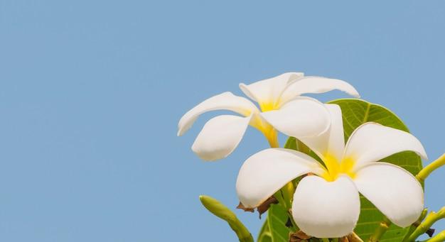 Plumeria en su árbol sobre fondo de cielo azul Foto gratis