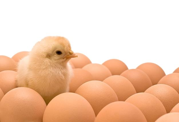 Pollo amarillo Foto Premium