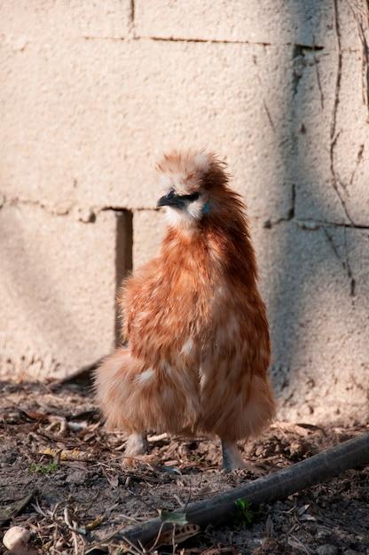 Un pollo en una granja Foto Premium