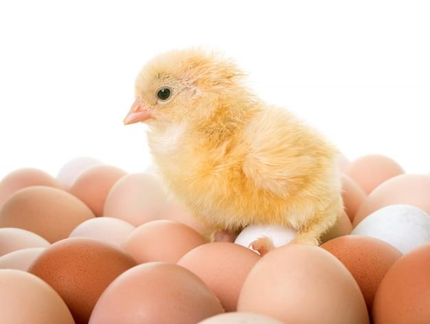 Pollo y huevos Foto Premium