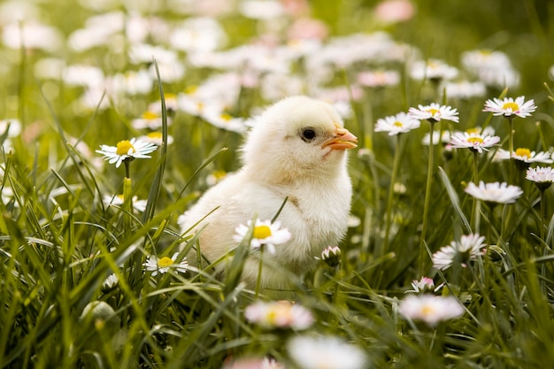 Pollo pequeño en pasto Foto Premium