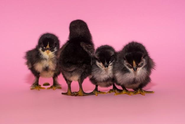 Pollo precioso, negro, esponjoso y de pura sangre sobre un fondo rosa Foto Premium