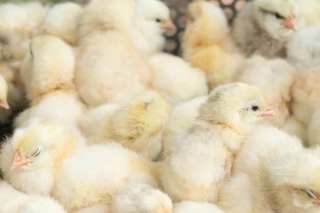 Polluelos amarillos jovenes del bebé en una granja avícola. Foto Premium