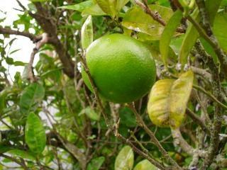 pomelo, planta Foto Gratis
