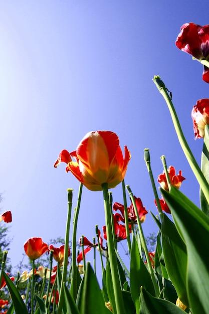Prados de tulipanes en holanda Foto Premium