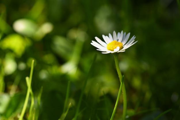 Primavera. margaritas florecientes hermosas en prado de la primavera. fondo borroso abstracto Foto gratis