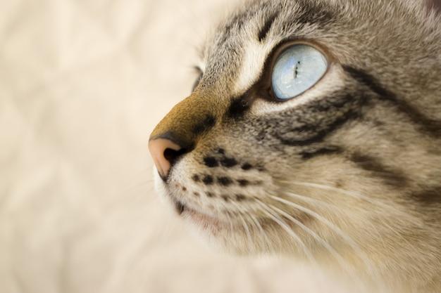 Primer disparo selectivo de una cabeza de gato gris con ojos azules con un fondo borroso Foto gratis