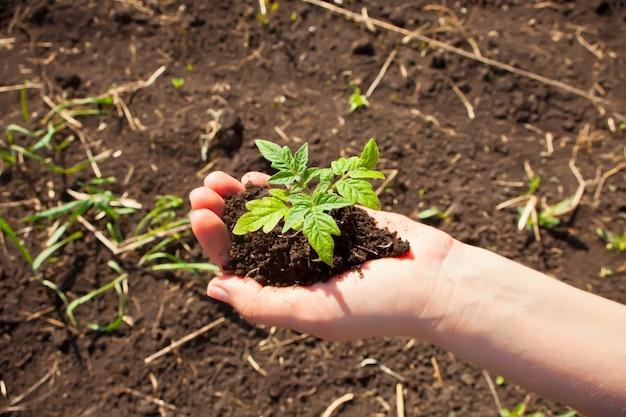 Primer de las manos de la mujer que plantan un almácigo en