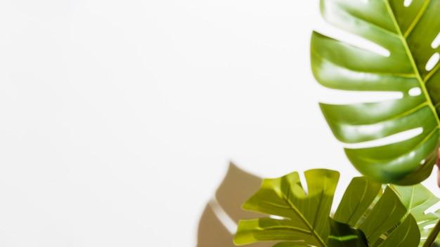 El primer del monstera verde se va en el fondo blanco Foto gratis