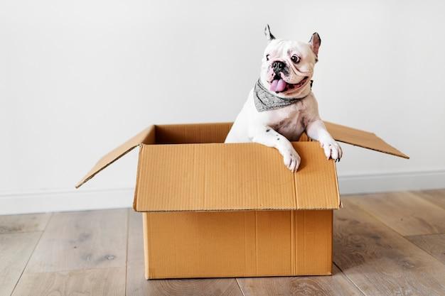 Primer plano de bulldog francés Foto gratis