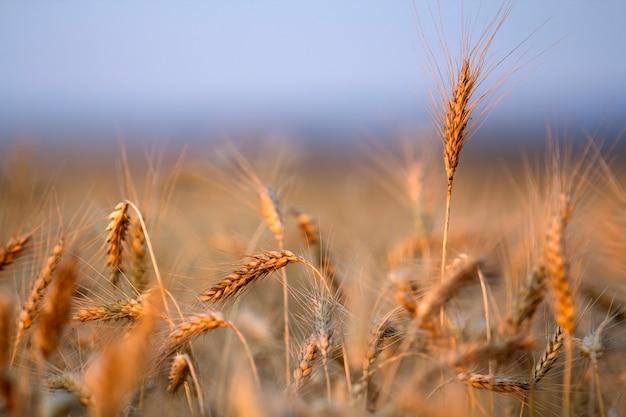 Primer plano de cabezas de trigo maduras de color amarillo dorado cálido caliente en día soleado de verano. Foto Premium