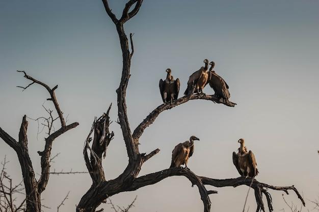 Primer plano de un comité o lugar de buitres en ramas de árboles secos en hoedspruit, sudáfrica Foto gratis